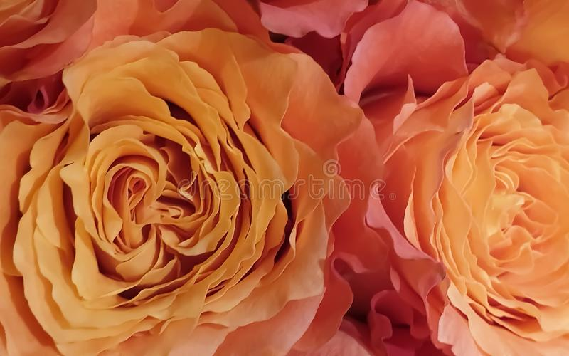 Beautiful romantic rose petals flower background royalty free stock images