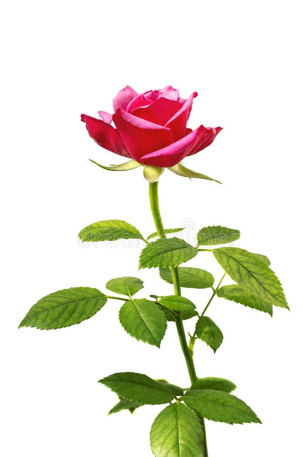 Beautiful romantic tender red, pink rose, single flower with leaf isolated on white royalty free stock photo
