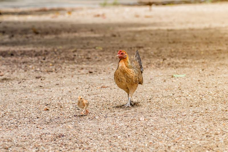 Beautiful the Rooster and hen on nature background royalty free stock photography