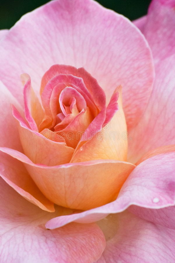Download Beautiful rose στοκ εικόνα. εικόνα από κάρτα, πέταλο, brigid - 386189