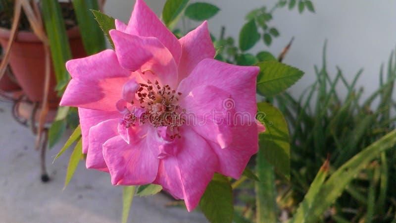 A beautiful rose stock image