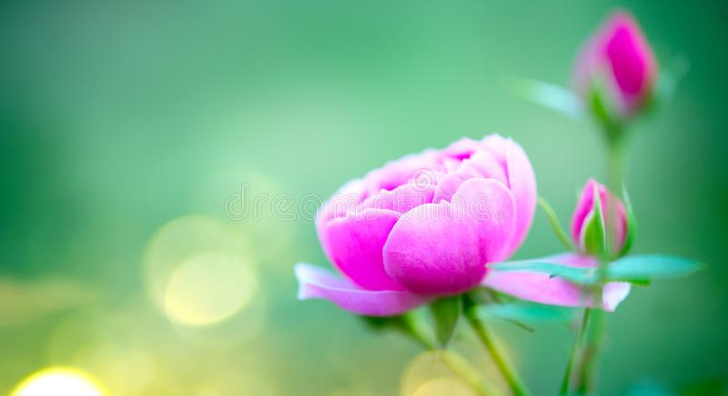 Beautiful Rose blooming in summer garden. Pink Roses flowers growing outdoors, nature, blossoming flower art design in sun light. Bokeh. Beautiful Easter royalty free stock photo