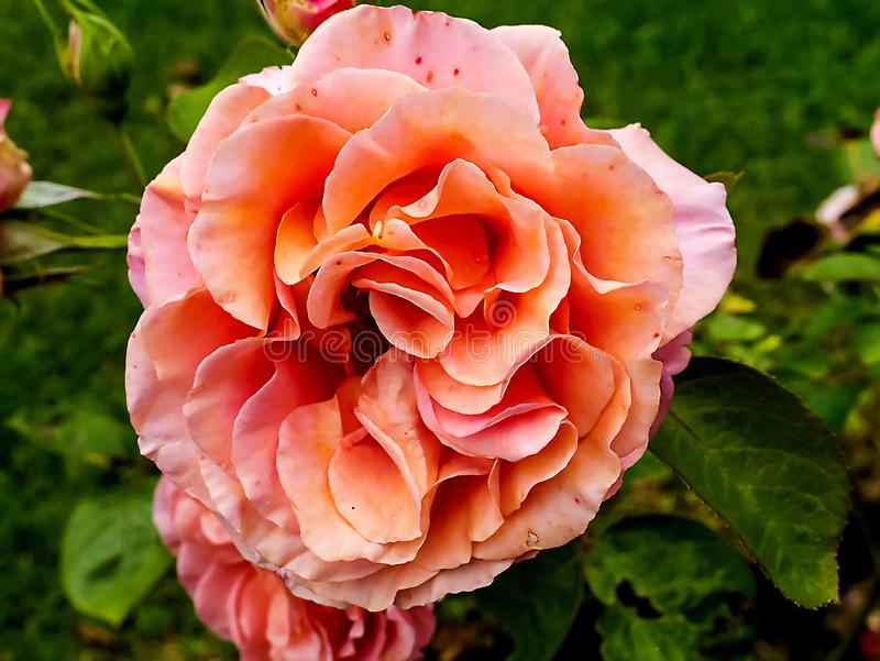 Beautiful Rose brightens up a garden in Northern England. I love my roses and I think this is a floribunda rose royalty free stock image