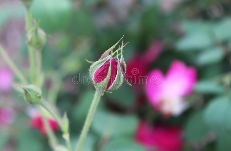 A beautiful Rose Bud stock image. Image of agriculture - 106729679