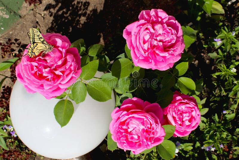 Beautiful rose. Butterfly on a flower. Flowerbed in the garden, pink roses with a yellow butterfly and a white ball. Yellow-black. Butterfly with a wing pattern stock photo