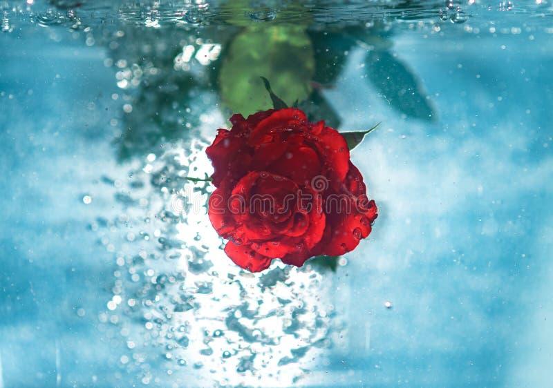 Beautiful rose flower background photos stock photography