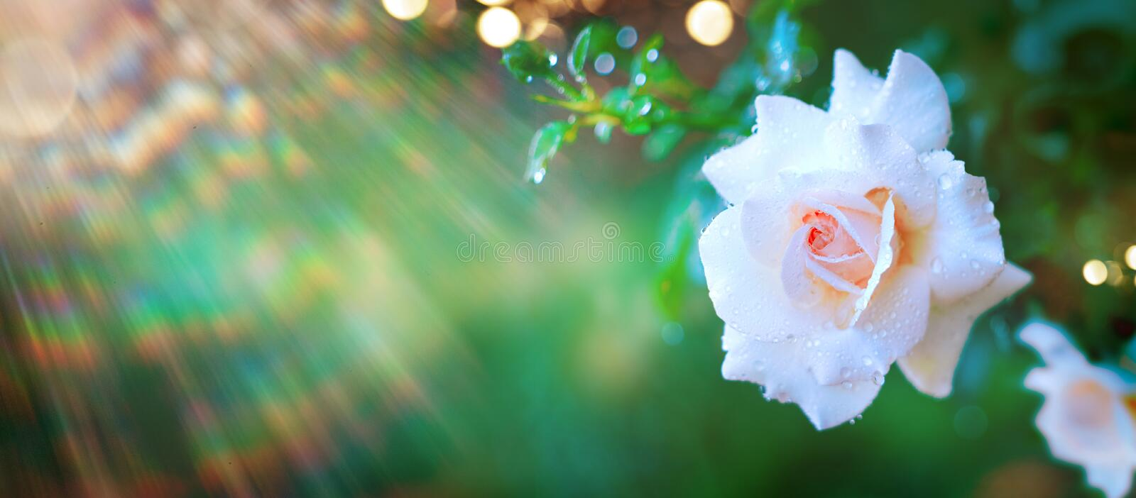Beautiful Rose flower blooming in summer garden. Roses growing outdoors, nature, blossoming flower art design royalty free stock photography