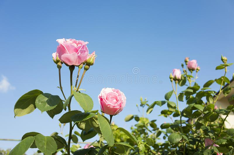 Beautiful pink rose flowers and blue sky royalty free stock photography