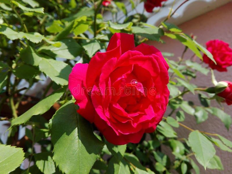 Beautiful Rose in garden stock photo