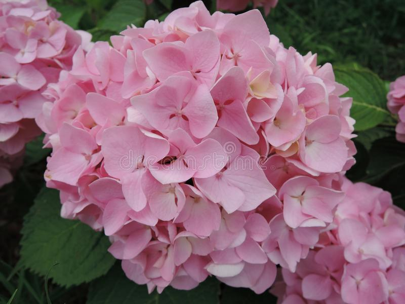 Beautiful rose hydrangea flower close up in the garden.  royalty free stock image