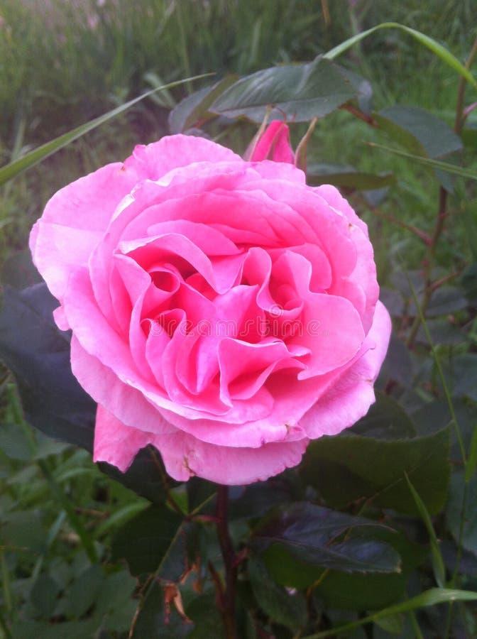 Beautiful rose! Odessa, 2017 stock photo