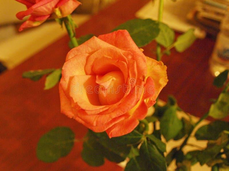 Beautiful rose. royalty free stock images