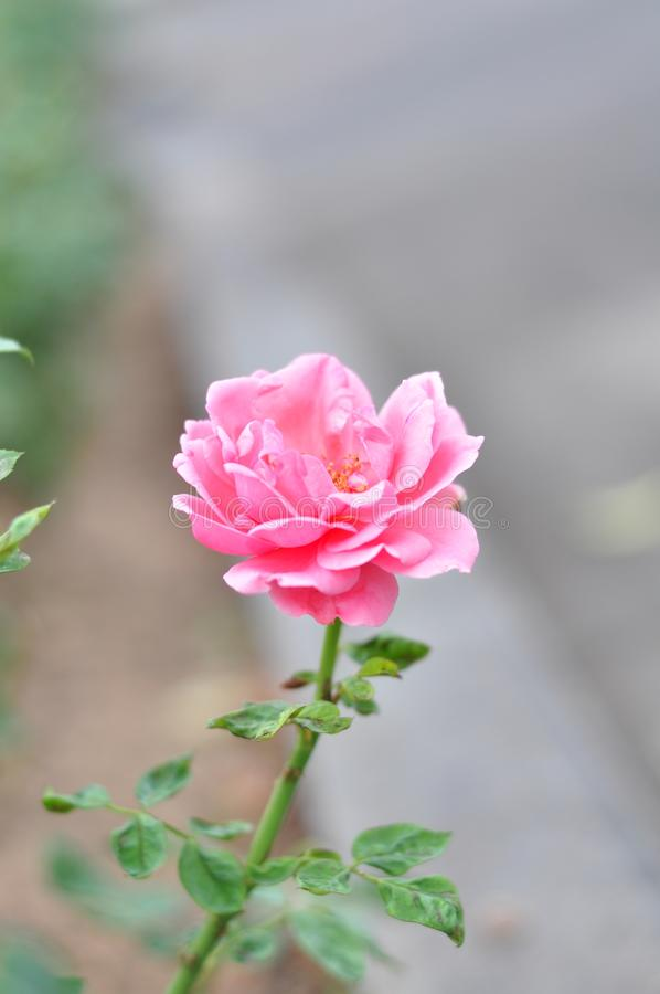 Beautiful rose petals are blooming, HD royalty free stock images