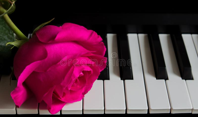 Beautiful rose on piano keys. Romance, celebration, postcard. Mother`s day, Birthday, March 8, Valentine`s day. Attention, Date,. Beautiful rose on piano keys stock photos