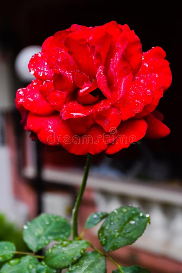 Beautiful rosebud red rose with drops of water on the background of green leaves in blur royalty free stock photos