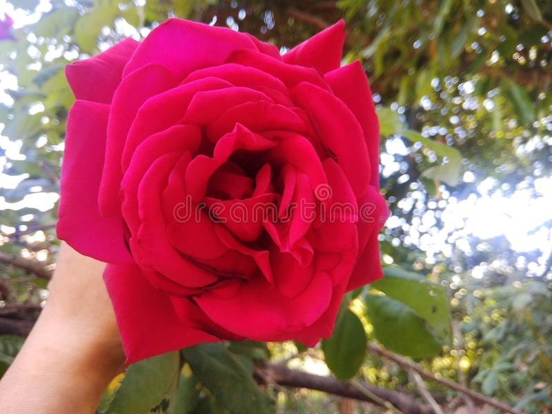 A beautiful rose to take a neutral glow in its. A beautiful rose to take a neutral glow in royalty free stock photo