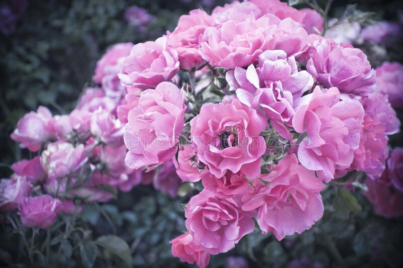 Beautiful rosebush with many pink roses in dreamy style stock images