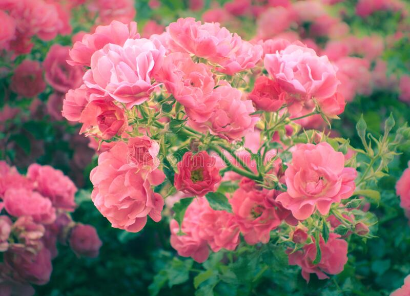 Beautiful rosebush with many pink roses in dreamy style royalty free stock photography