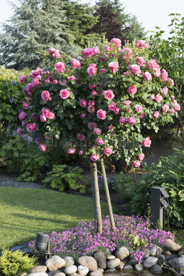 Flowering beautiful rosebush in garden stock photo