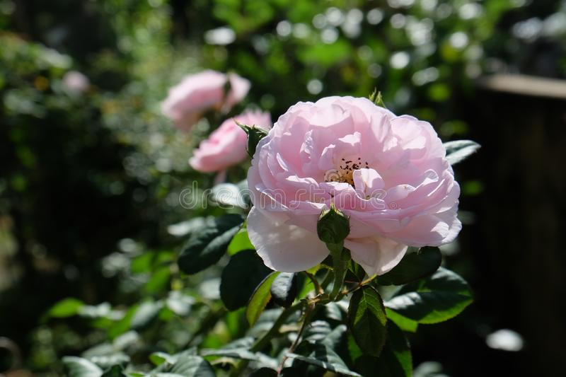 Beautiful roses Bush in garden, roses for Valentine Day royalty free stock photography