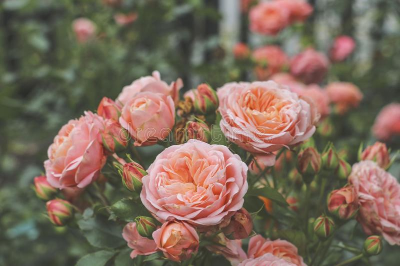 Beautiful roses bush pink color in the summer garden stock image download beautiful roses bush pink color in the summer garden stock image image of background mightylinksfo