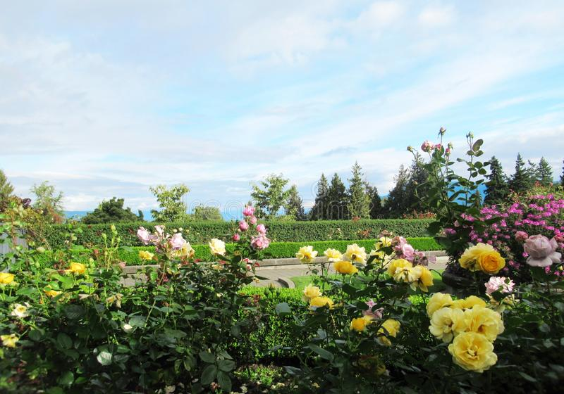 Beautiful Roses Flowers On Blue Cloud Sky Background At The Vancouver Park Rose Garden. Beautiful Roses Flowers On Blue Cloud Sky Background At The Vancouver royalty free stock images