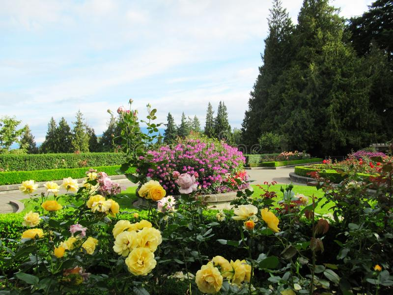 Beautiful Roses Flowers On Blue Cloud Sky Background At The Vancouver Park Rose Garden. Beautiful Roses Flowers On Blue Cloud Sky Background At The Vancouver stock photos