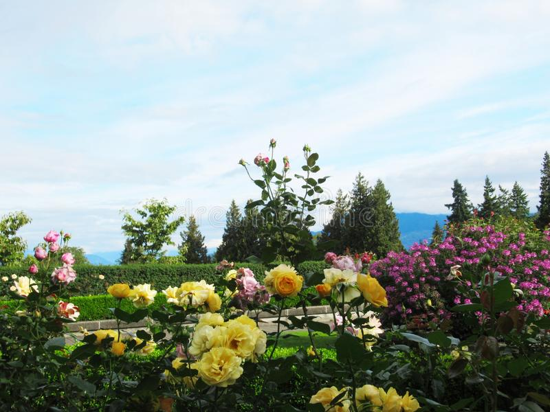 Beautiful Roses Flowers On Blue Cloud Sky Background At The Vancouver Park Rose Garden. Beautiful Roses Flowers On Blue Cloud Sky Background At The Vancouver stock photo