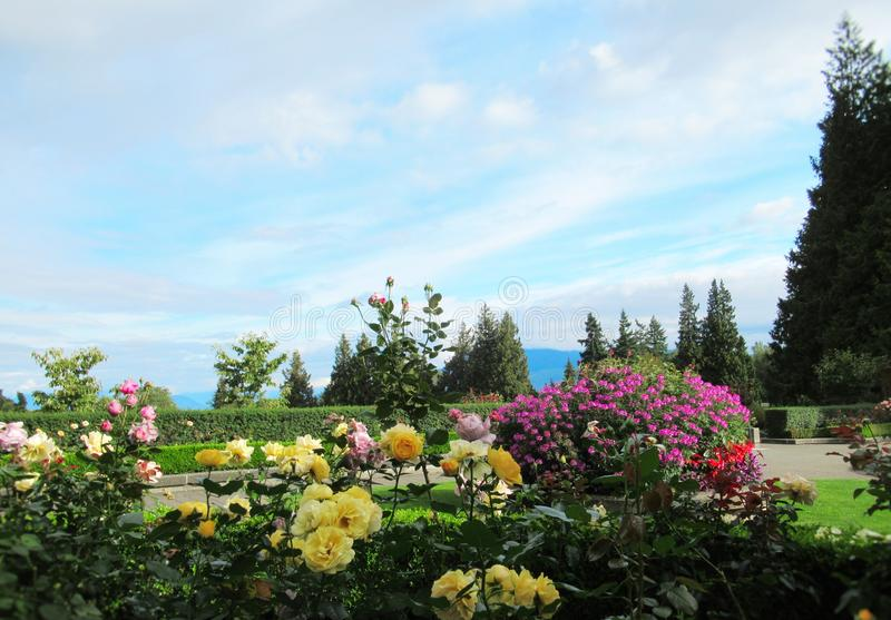 Beautiful Roses Flowers On Blue Cloud Sky Background At The Vancouver Park Rose Garden. Beautiful Roses Flowers On Blue Cloud Sky Background At The Vancouver royalty free stock image