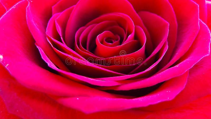 Beautiful roses in the garden. stock photography