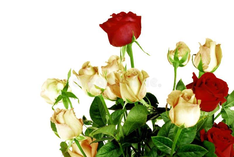 Beautiful roses isolated on white background stock images