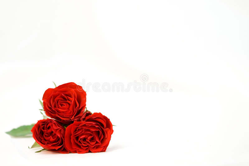 Beautiful roses on a white shiny background stock images
