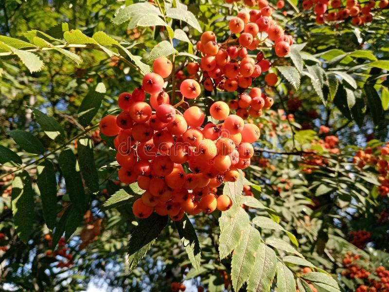 Beautiful rowan branch bunch of berries and leaves. Sunny photo. Close-up. Autumn royalty free stock images
