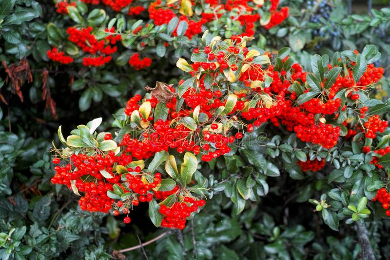 Beautiful Rowan Bush with ripe red berries and green leaves in late summer or early autumn. Beautiful Rowan Bush with ripe red berries and green leaves in late stock photography