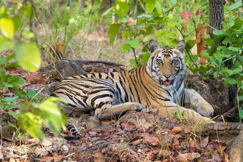 Beautiful royal bengal tiger in Indian jungle royalty free stock photography