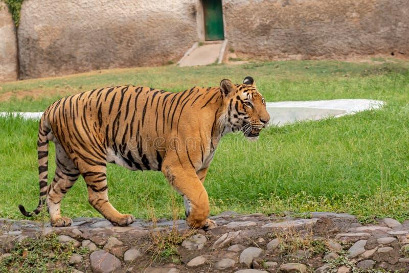 Beautiful Royal Bengal Tiger. Walking in Zoo royalty free stock images