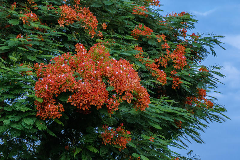Beautiful Royal Poinciana's flower(or Phoenix flower). In Taiwan royalty free stock photo