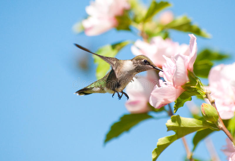 Beautiful Ruby-throated Hummingbird stock image