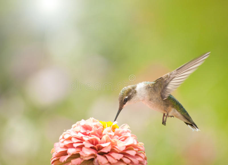 Beautiful Ruby-throated Hummingbird stock photo