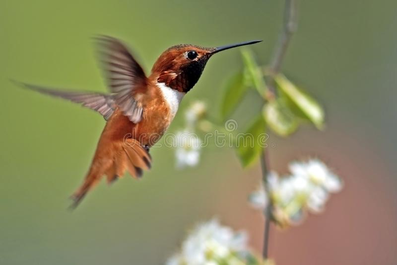 Beautiful Rufous Hummingbird in flight. Selasphorus rufus stock image