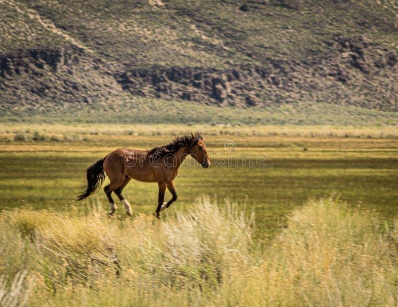 Beautiful Wild Horse In Dobie Meadow Near California Hwy 120. Beautiful running wild horse in Dobie Meadow near California Highway 120 on a spring day with green royalty free stock image