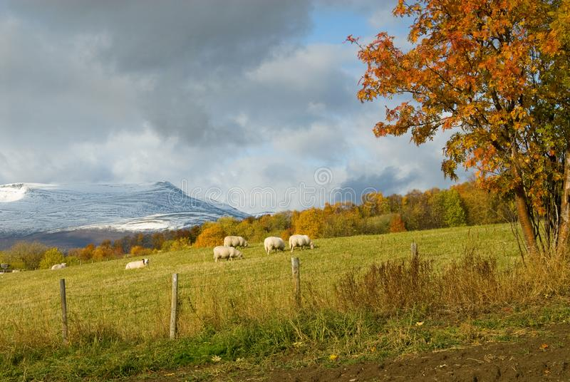 Rural Autumn landscape with sheep and coloured trees, Norway royalty free stock images