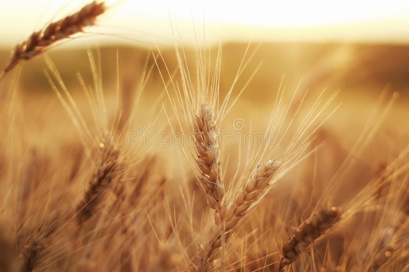 beautiful rural field with ripe Golden ears of wheat on a background a bright sunset royalty free stock photos
