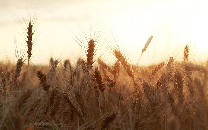 beautiful rural field with ripe Golden ears of wheat on a background a bright sunset stock images
