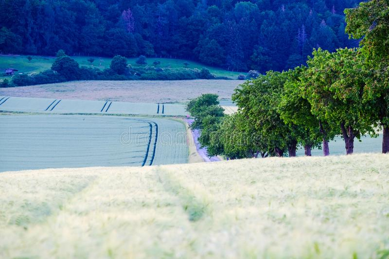 Beautiful rural landscape with agricultural fields of cereal plants with spikes royalty free stock photography