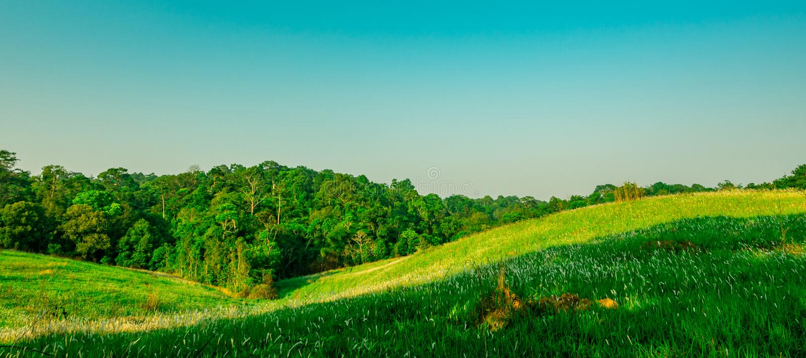 Beautiful rural landscape of green grass field with white flowers on clear blue sky background in the morning on sunshine day. stock photo