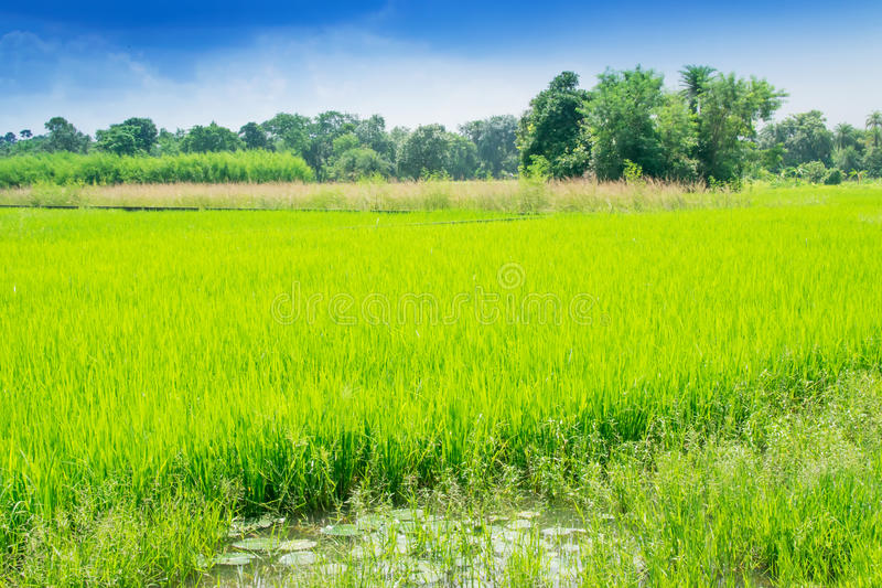 Download Beautiful Rural Landscape Of Paddy Field Stock Image - Image: 83702831