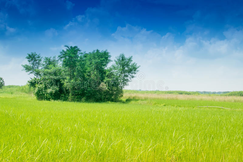 Download Beautiful Rural Landscape Of Paddy Field Stock Photo - Image: 83703051
