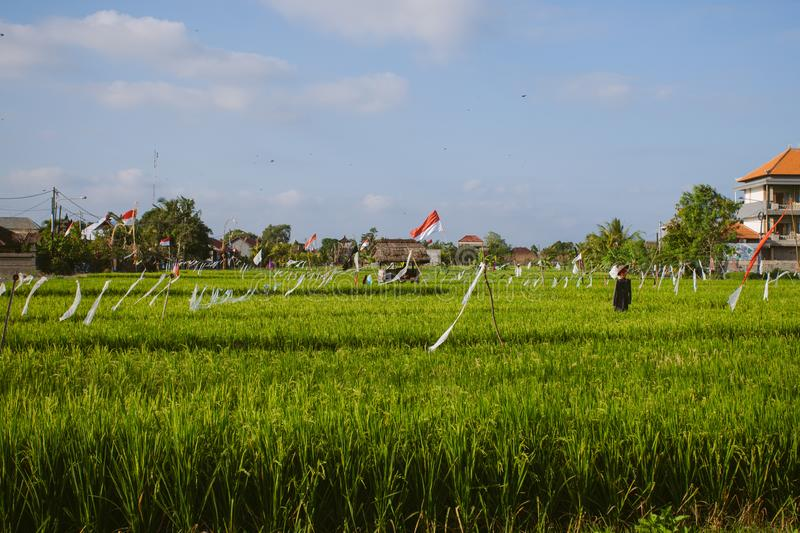 Rice fields in Canggu, Bali. Beautiful rural landscape of rice fields in Canggu, Bali island, Indonesia royalty free stock image