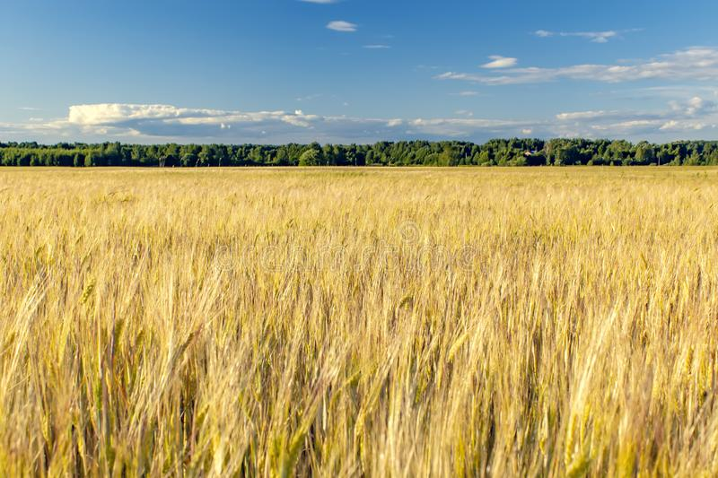 Beautiful rural landscape wheat field. Sunny day stock images